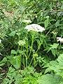 Dystaenia takesimana - Flickr - peganum (1).jpg