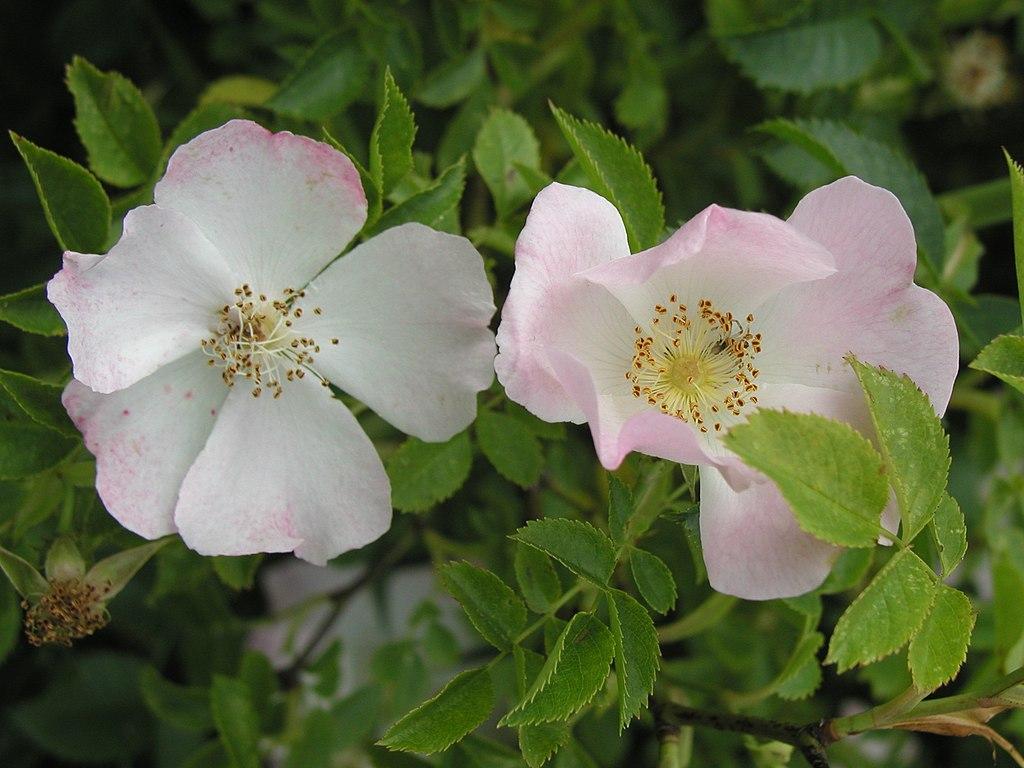 Ruža šípová - kvety