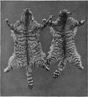 image of EB1911 Cat - Fig. 3.—SKINS OF THE EUROPEAN WILD CAT