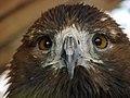 Eagle عقاب 08.jpg