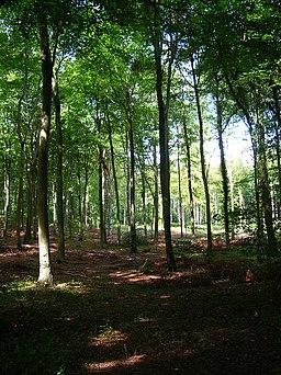 Eartham Wood - geograph.org.uk - 236530