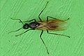 Eastern Black Carpenter Ant (Camponotus pennsylvanicus) - Kitchener, Ontario 02.jpg