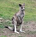 Eastern Grey Kangaroo (1806581589).jpg