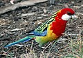 Eastern Rosella at Hobart Domain upright.jpg