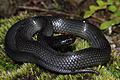 Eastern Small-eyed Snake (Cryptophis nigrescens) (8909118745).jpg