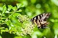 Eastern tiger swallowtail (19698428325).jpg