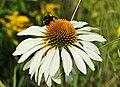 Echinacea ..2H1A4026WI.jpg
