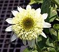 Echinacea purpurea Coconut Lime 0zz.jpg