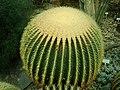 Echinocactus grusonii 2019-12-13 6517.jpg