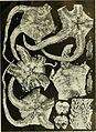 Echinodermata Ophiuroidea (1922) (20949843098).jpg