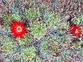 Echinopsis hertrichiana.jpg