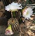 Echinopsis smrziana 02.jpg