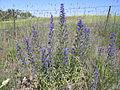 Echium vulgare plant3 (13942726943).jpg
