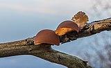 Echt judasoor (Auricularia auricula-judae, synoniem, Hirneola auricula-judae). Locatie, Natuurterrein De Famberhorst 03.jpg
