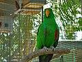 Eclectus roratus -male- aviary-8a.jpg