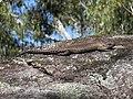 Egernia cunninghami (23945975808).jpg