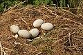Eggs of swan .JPG
