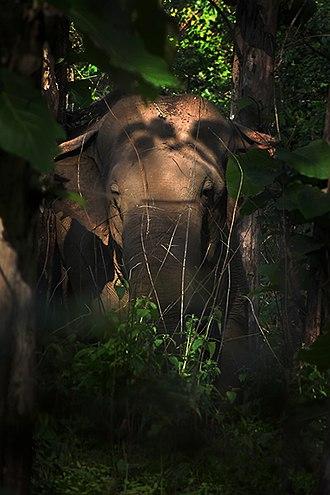 Chapramari Wildlife Sanctuary - Image: Elephas maximus chapramari