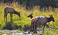 Elk 1 (8005283056).jpg