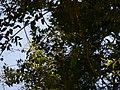 Embelia ribes Burm.f. (32410396253).jpg