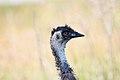 Emu (Dromaius novaehollandiae) (31282599895).jpg