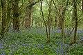 English Bluebells in narrow woodland west of Manor Farm - geograph.org.uk - 1282168.jpg