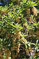 Enkianthus campanulatus flowers.JPG