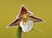 Epipactis palustris - Keila.jpg