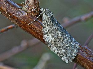 November moth - Image: Epirrita dilutata 01