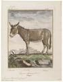 Equus asinus - 1700-1880 - Print - Iconographia Zoologica - Special Collections University of Amsterdam - UBA01 IZ21700071.tif