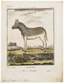 Equus quagga - 1700-1880 - Print - Iconographia Zoologica - Special Collections University of Amsterdam - UBA01 IZ21700005.tif