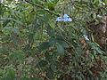 Eranthemum capense 02.JPG
