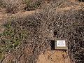 Eriogonum parvifolium winter.jpg