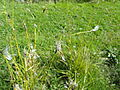 Eriophorum angustifolium - Botanical Garden in Kaisaniemi, Helsinki - DSC03528.JPG
