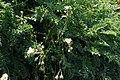 Erodium chrysanthum kz03.jpg