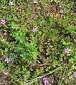 Erodium cicutarium Pflanze.jpg