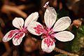 Erodium trifolium1-Clapiers-5298~2016 03 24.jpg