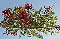 Erythrina fusca 3689.jpg