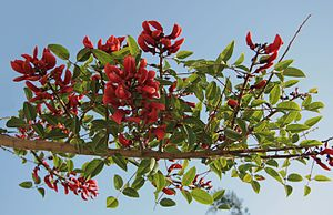 Sinhalese New Year - The blossoming flowers of the Yak Erabadu is associated with the advent of the New Year