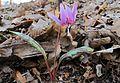 Erythronium dens-canis in national natural monument Mednik (04).jpg