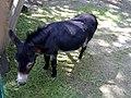 Esel Max im Wildpark - panoramio.jpg
