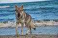 Eska der Tschechoslowakische Wolfhund am Strand.jpg