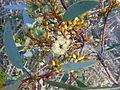 Eucalyptus socialis flower.jpg