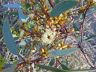 Eucalyptus socialis - Eucalyptus socialis flowers