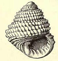 Euchelus guttarosea 001.jpg