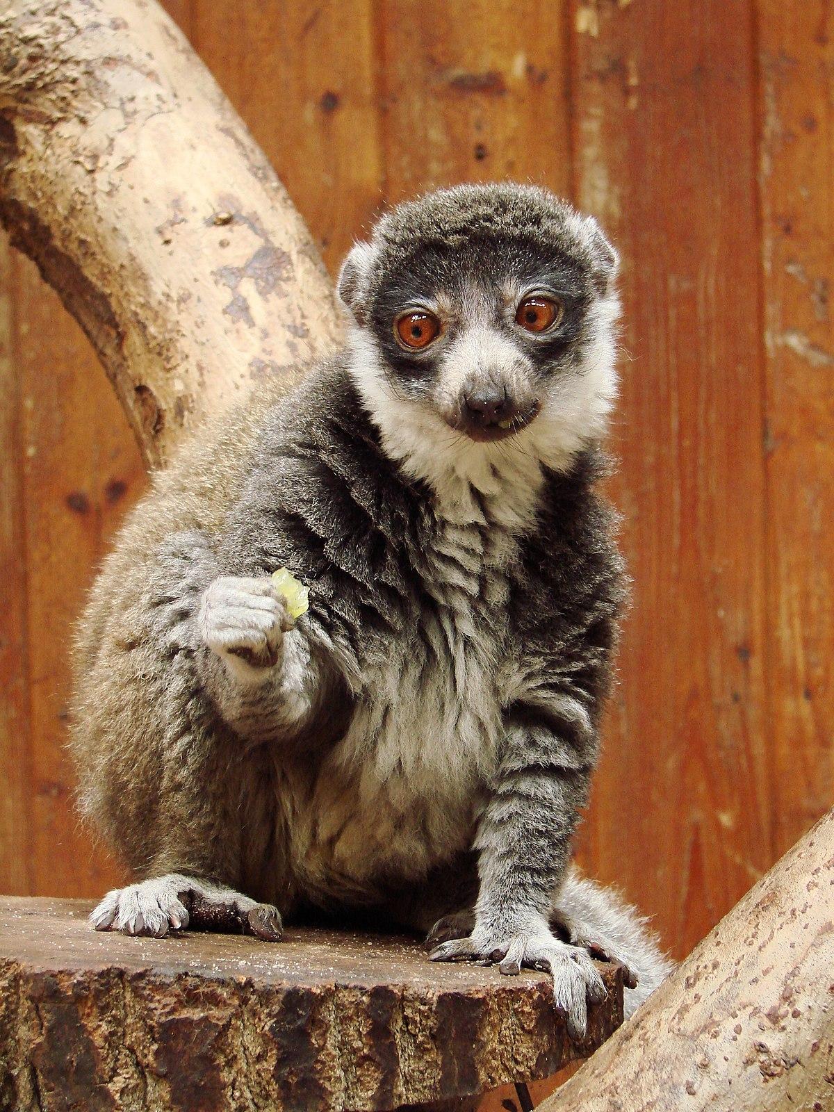 Lemuria (rodzaj ssaka) – Wikipedia, wolna encyklopedia