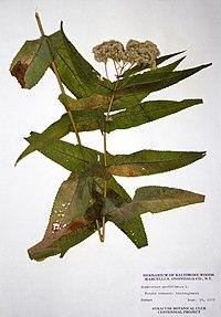 Eupatorium perfoliatum BW-1979-0914-9948.jpg