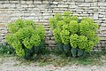 Euphorbia characias Aigre 2.jpg