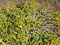 Euphorbia nicaeensis Habitus 2009July25 SierraNevada.jpg