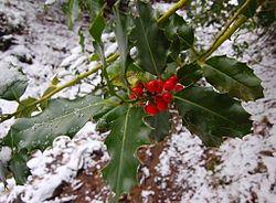 European Holly.jpg